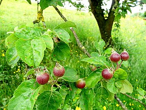 Developing fruit This apple tree on the edge o...