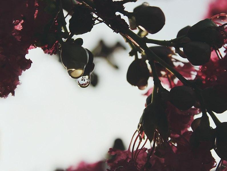 File:Dew on flower buds (Unsplash).jpg