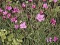Dianthus deltoides-IMG 0589.jpg