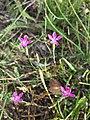 Dianthus deltoides sl22.jpg