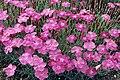 Dianthus gratianopolitanus 1.jpg