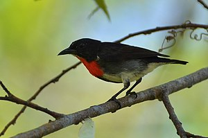 Grey-sided flowerpecker - Male at Manado, North Sulawesi