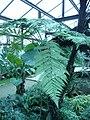 Dicksonia squarrosa leaf 02 by Line1.JPG