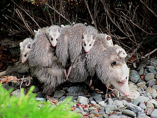 Opossum Family of mammals