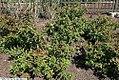 Diervilla sessilifolia Butterfly 3zz.jpg