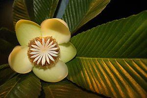 Dillenia indica - Flower of Dillenia indica
