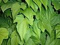 Dioscorea caucasica 2016-05-31 1884.jpg