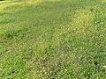 Diplotaxis virgata Habitat 2012-12-09 SierraMadrona.jpg