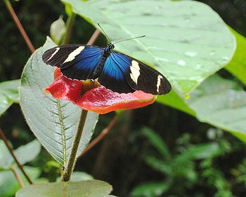 A Sara Longwing on the Pipeline Road (along the Canal) in Panamá