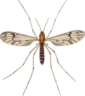 Dixa nebulosa adult John Curtis British Entomology 409.png