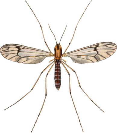 Dixa nebulosa adult John Curtis British Entomology 409