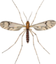 Dixa nebulosa adult John Curtis British Entomology 409.png