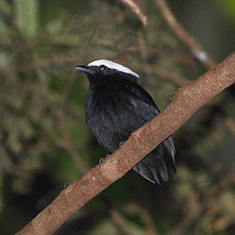 Dixiphia pipra - White-crowned Manakin (male).JPG