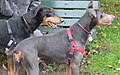 Doberman Pinschers black and blue.jpg