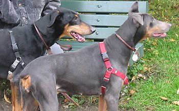 Two Doberman Pinschers