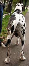 Dog niemiecki arlekin rozstaw 7457.jpg