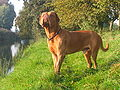 Dogue de Bordeaux standing original.jpg