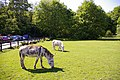 Donkeys grazing at Clockhouse Nursery, Forty Hill, Enfield - geograph.org.uk - 792814.jpg