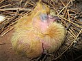 Dove breading (7).jpg