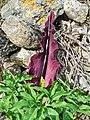 Dracunculus vulgaris 003.JPG