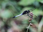 Dragon Fly (Orthetrum triangulare) (7976467260).jpg
