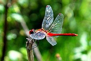 Dragonfly - red.jpg
