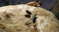 Dragonfly on Fodele river banks.png