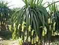 Dragonfruit plant.jpg