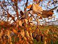 Dried fruit of linden tree , Исушен плод од липа.JPG