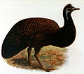 Artist's reconstruction of the emu