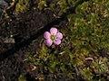 Drosera capillaris flower.jpg
