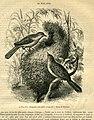 Drymoica ruficapilla (16322149881).jpg
