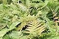 Dryopteris erythrosora 10zz.jpg