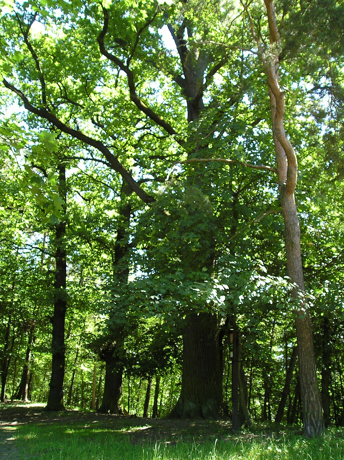 Dub letní Na Vinicích – Wikipedie