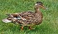 Duck (16939045).jpeg