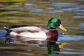 Duck (2935190592).jpg