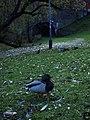Duck - panoramio - TomasEE.jpg
