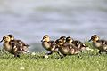 Ducklings - Grafham Water - reflected.jpg