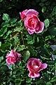 Duftrosengarten Rapperswil - Tiffany TH Lindqust 1954 2010-10-02 16-33-32.JPG