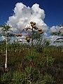 Dwarf Cypress Seed Pods - panoramio.jpg