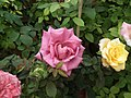 Dwarf Rose from Lalbagh flower show Aug 2013 8494.JPG