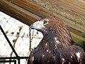 Eagle عقاب 12.jpg