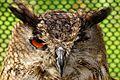 Eagle Owl - American Air Day Duxford (7113800883).jpg