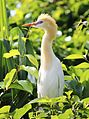 Eastern Cattle Egret Mysuru.jpg