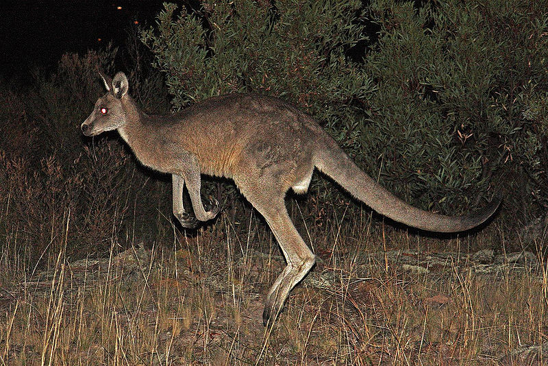 File:Eastern Grey Kangaroo.jpg