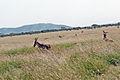 Eastern Serengeti 2012 06 01 3286 (7522731670).jpg