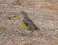 Eastern miYellow Meadow-lark . Sturnella magna - Flickr - gailhampshire.jpg