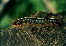 Eastern tent caterpillar on bark - single - USFS.jpg