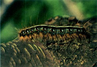 Tent caterpillar - Eastern tent caterpillar, Malacosoma americanum