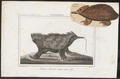 Echidna australis - 1700-1880 - Print - Iconographia Zoologica - Special Collections University of Amsterdam - UBA01 IZ20300194.tif